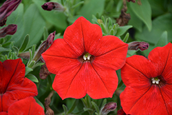 Easy Wave® Red Petunia (Petunia 'Easy Wave Red') at Thies Farm & Greenhouses