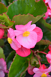 Big® Pink Green Leaf Begonia (Begonia 'Big Pink Green Leaf') at Thies Farm & Greenhouses