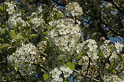 Cleveland Select Ornamental Pear (Pyrus calleryana 'Cleveland Select') at Thies Farm & Greenhouses
