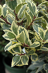 Honey Maid Meserve Holly (Ilex x meserveae 'Honey Maid') at Thies Farm & Greenhouses