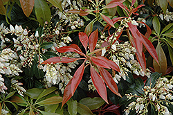 Scarlet O'Hara Japanese Pieris (Pieris japonica 'Scarlet O'Hara') at Thies Farm & Greenhouses