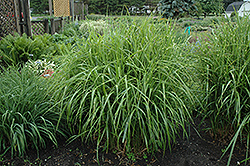Porcupine Grass (Miscanthus sinensis 'Strictus') at Thies Farm & Greenhouses