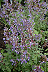 Purrsian Blue Catmint (Nepeta x faassenii 'Purrsian Blue') at Thies Farm & Greenhouses