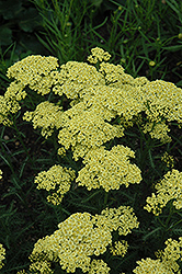Sunny Seduction Yarrow (Achillea millefolium 'Sunny Seduction') at Thies Farm & Greenhouses