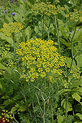 Hedger Dill (Anethum graveolens 'Hedger') at Thies Farm & Greenhouses