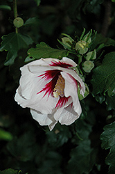 Helene Rose of Sharon (Hibiscus syriacus 'Helene') at Thies Farm & Greenhouses