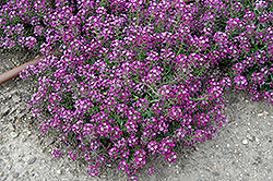 Clear Crystal Purple Shades Sweet Alyssum (Lobularia maritima 'Clear Crystal Purple Shades') at Thies Farm & Greenhouses