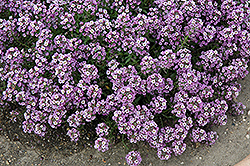 Clear Crystal Lavender Shades Sweet Alyssum (Lobularia maritima 'Clear Crystal Lavender Shades') at Thies Farm & Greenhouses