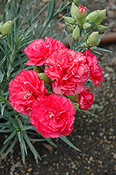 Can Can Rose Carnation (Dianthus caryophyllus 'Can Can Rose') at Thies Farm & Greenhouses