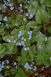 Alexander's Great Bugloss (Brunnera macrophylla 'Alexander's Great') at Thies Farm & Greenhouses