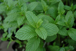 The Best Spearmint (Mentha spicata 'The Best') at Thies Farm & Greenhouses