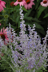 Denim 'n Lace Russian Sage (Perovskia atriplicifolia 'Denim 'n Lace') at Thies Farm & Greenhouses