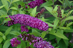 Crown Jewels Butterfly Bush (Buddleia 'Crown Jewels') at Thies Farm & Greenhouses