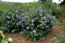 Blue Chiffon® Rose of Sharon (Hibiscus syriacus 'Notwoodthree') at Thies Farm & Greenhouses