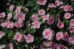 Vitalia Icy Pink Vinca (Catharanthus roseus 'Vitalia Icy Pink') at Thies Farm & Greenhouses