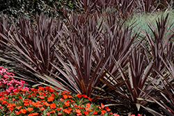 Red Sensation Grass Palm (Cordyline australis 'Red Sensation') at Thies Farm & Greenhouses