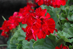 Calliope® Dark Red Geranium (Pelargonium 'Calliope Dark Red') at Thies Farm & Greenhouses