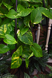 Golden Pothos (Epipremnum aureum) at Thies Farm & Greenhouses