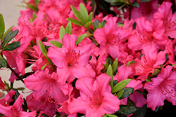 Girard's Rose Azalea (Rhododendron 'Girard's Rose') at Thies Farm & Greenhouses