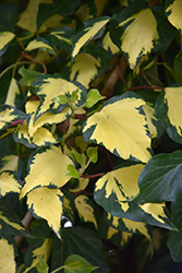 Gold Heart Ivy (Hedera helix 'Gold Heart') at Thies Farm & Greenhouses