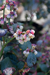 Pink Icing® Blueberry (Vaccinium 'ZF06-079') at Thies Farm & Greenhouses
