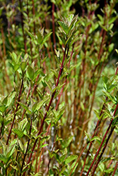 Arctic Fire® Red Twig Dogwood (Cornus sericea 'Farrow') at Thies Farm & Greenhouses