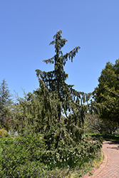 Weeping Nootka Cypress (Chamaecyparis nootkatensis 'Pendula') at Thies Farm & Greenhouses