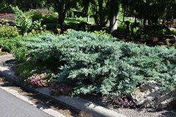 Blue Pfitzer Juniper (Juniperus x media 'Pfitzeriana Glauca') at Thies Farm & Greenhouses