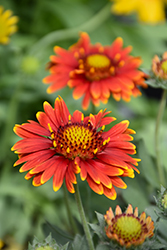 Arizona Red Shades Blanket Flower (Gaillardia x grandiflora 'Arizona Red Shades') at Thies Farm & Greenhouses