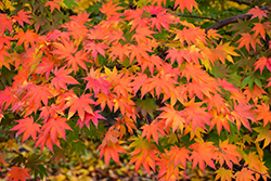 Japanese Maple (Acer palmatum) at Thies Farm & Greenhouses