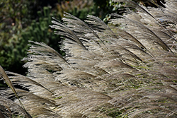 Gracillimus Maiden Grass (Miscanthus sinensis 'Gracillimus') at Thies Farm & Greenhouses