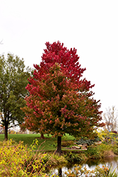 Red Sunset Red Maple (Acer rubrum 'Red Sunset') at Thies Farm & Greenhouses