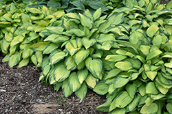 Paul's Glory Hosta (Hosta 'Paul's Glory') at Thies Farm & Greenhouses