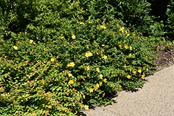 Sungold St. John's Wort (Hypericum patulum 'Sungold') at Thies Farm & Greenhouses
