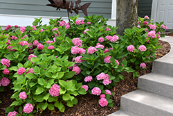 Let's Dance® Rhythmic Blue™ Hydrangea (Hydrangea macrophylla 'SMHMES14') at Thies Farm & Greenhouses