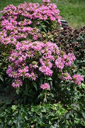 Pardon My Pink Beebalm (Monarda didyma 'Pardon My Pink') at Thies Farm & Greenhouses