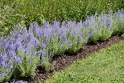 Lacey Blue Russian Sage (Perovskia atriplicifolia 'Lacey Blue') at Thies Farm & Greenhouses