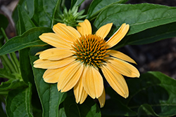 Sombrero® Granada Gold Coneflower (Echinacea 'Balsomold') at Thies Farm & Greenhouses