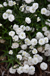 Peter Cottontail Yarrow (Achillea ptarmica 'Peter Cottontail') at Thies Farm & Greenhouses