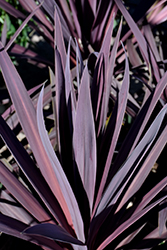 Bauer's Cordyline (Cordyline 'Baueri') at Thies Farm & Greenhouses