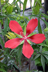Scarlet Rose Mallow (Hibiscus coccineus) at Thies Farm & Greenhouses